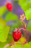 Wild strawberries in the garden Stock Photos