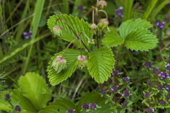 Wild strawberries with green leaves and unripe fruit, blossom  of wild thyme or Thymus   serpillorum, Plana mountain. Wild strawberries with green leaves and Royalty Free Stock Images
