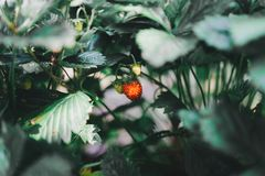 Wild strawberries grew in the woods of Russia stock image