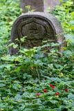 Wild strawberries grow amongst the old gravestones in the historic New Jewish Cemetery in Kazimierz, Krakow, Poland. Wild strawberries grow amongst the royalty free stock image