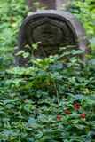Wild strawberries grow amongst the old gravestones in the historic New Jewish Cemetery in Kazimierz, Krakow, Poland. Wild strawberries grow amongst the stock photo