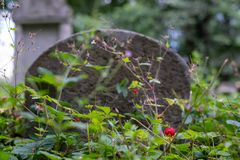 Wild strawberries grow amongst the gravestones in the historic New Jewish Cemetery in Kazimierz, Krakow, Poland. Where the Jewish community once lived stock images