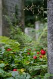 Wild strawberries grow amongst the gravestones in the historic New Jewish Cemetery in Kazimierz, Krakow, Poland. Where the Jewish community once lived royalty free stock photography