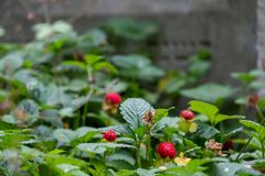 Wild strawberries grow amongst the gravestones in the historic New Jewish Cemetery in Kazimierz, Krakow, Poland. Where the Jewish community once lived stock photography