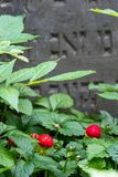 Wild strawberries grow amongst the gravestones in the historic New Jewish Cemetery in Kazimierz, Krakow, Poland. Where the Jewish community once lived royalty free stock images