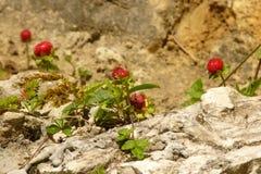 Wild strawberries grow on rock Royalty Free Stock Photos