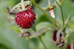 Wild strawberries. Wild strawberries growing natural environment Royalty Free Stock Image