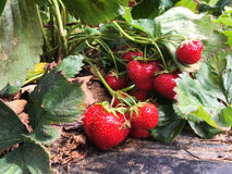 Wild Strawberries growing on a vine. Many wild Strawberries growing on a vine Royalty Free Stock Images