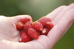 Wild strawberries in hand Stock Photo
