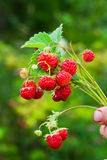 Wild strawberries. Hand hold of wild strawberries Stock Images
