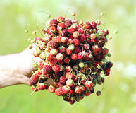 Wild strawberries in a hand Stock Image