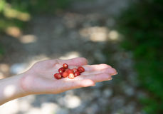 Wild strawberries in hand. Wild starwberries, freshly gathered in the Albanian mountains Stock Images