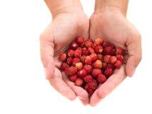 Wild strawberries in hands Stock Photo