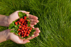 Wild strawberries  in hands. On a grass Royalty Free Stock Photos