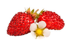Wild strawberries isolated Stock Images