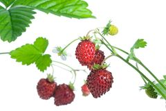 Wild strawberries. Royalty Free Stock Photography