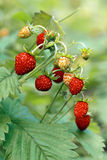 Wild strawberries on meadow Royalty Free Stock Photo
