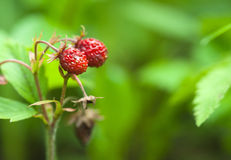 Wild strawberries Stock Photo