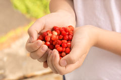Wild strawberries Royalty Free Stock Image