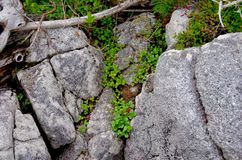 Wild strawberries and other flora grow in the crevices of rocks stock image