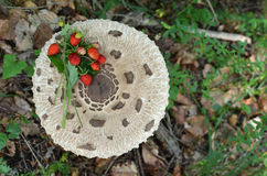 Wild strawberries on Parasol mushroom Stock Photography