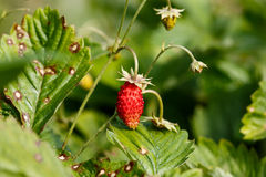 Wild strawberries plant Royalty Free Stock Image