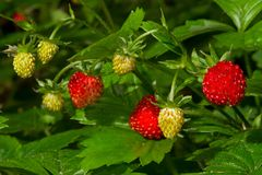 Wild strawberries. On a plant, some ripe and red and some still unripe and yellow stock photo