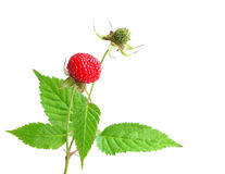 Wild strawberries red Stock Photos