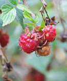 Wild strawberries. Some juicy wild strawberries in the wild Stock Photos