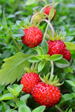 Wild strawberries among Thyme leaves Royalty Free Stock Photos