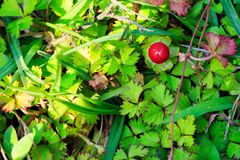 Wild strawberries. The Wild strawberries under the sunlight Royalty Free Stock Image
