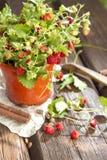 Wild strawberries Royalty Free Stock Image