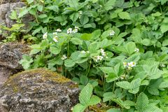 Wild strawberries with white flowers. In the stone bed stock photo