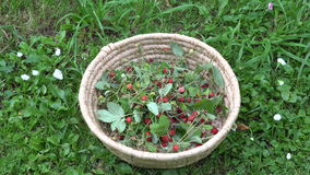 Wild strawberries in wicker basket, 4K stock video footage
