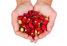 Wild strawberries in woman hands Stock Images