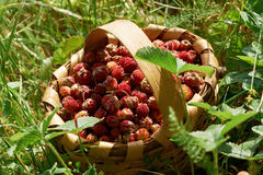 Wild strawberries in wooden basked Royalty Free Stock Image