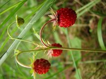 Wild strawberry. Wild strawberries growing in the woods; closeup Royalty Free Stock Image