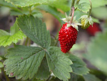 Wild strawberry. Plant and fruits, close-up Stock Photography