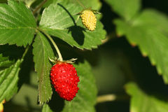 Wild strawberry. (Fragaria vesca). Red ripe fruit on plant Royalty Free Stock Images