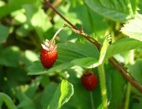 Wild strawberry Royalty Free Stock Image