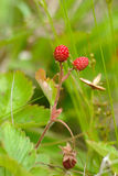 Wild strawberry Royalty Free Stock Photo