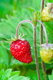 Wild strawberry. Close-up of wild strawberry stock image