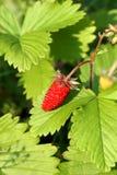 Wild strawberry Royalty Free Stock Photos