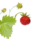Wild strawberry. Branch of wild strawberry close-up royalty free stock photography