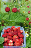 Wild strawberry. Under harvest time Stock Photography