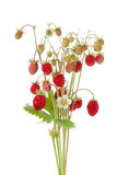 Wild strawberry. Plant with green leaves and flower, isolated royalty free stock photos