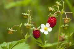 Wild strawberry. Red and unripe wild strawberry on bush royalty free stock photo
