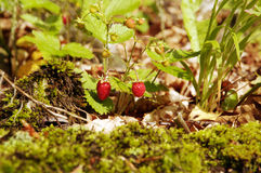 Wild strawberry. Growing in the forest stock photography