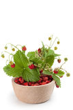 Wild strawberry. Plant in a wooden bowl stock image