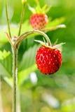 Wild strawberry Stock Image